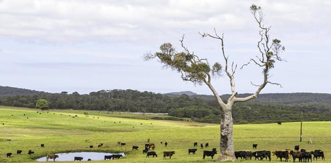 虛擬圍欄和牛:新技術如何實現有效、可持續的土地共享
