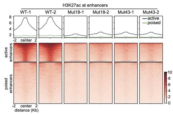 生物物理所證明增強子活性不依賴H3K27乙酰化修飾