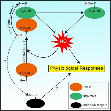 遺傳發育所等發現植物轉亞硝基化酶